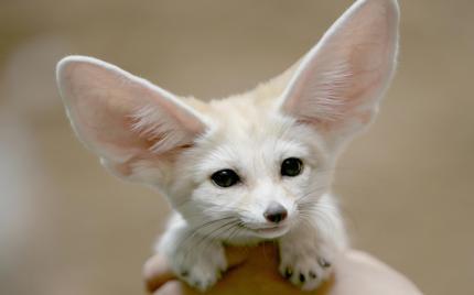 little_dog_with_big_ears-1920x1200